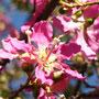 Die uruguayische Nationalblume (Ceibo-Baum)