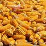 Mais - Grundnahrungsmittel Nummer 1