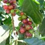 Kaffee - die roten Kaffekirschen schmecken süß und enthalten die Kaffeebohne