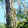 Schlafendes Eichhörnchen