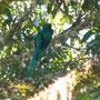 Der sagenumwobene Quetzal