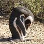 In der Pinguin-Kolonie bei Punta Tombo