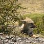Patagonischer Fuchs