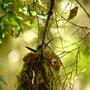 Kolibri in seinem Nest