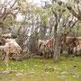 Schaf-Felle hängen zum Trocknen in den Bäumen
