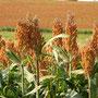 Ein grosser Teil des Landes... Hirsefelder