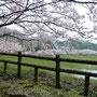 満開から桜吹雪へ (~o~)