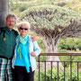 der berühmteste Drachenbaum