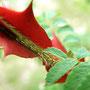 Rosen haben Dornen