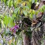 im Igapo Wald (3-4m überschemmt durch Schwarzwasserfluss) trifft man die ...