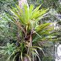 ... Epiphyten in den Baumkronen