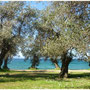 Olivenhain am Meer
