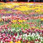 viele viele Tulpen!