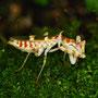 Creobroter gemmatus 0.1 adult