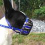 Boston Terrier, Maulkorb, standard mit FressSchutz und Stirnriemen in den Farben blau und schwarz
