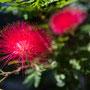 Blumen in Kirribilli