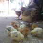 Gallina y sus pollos