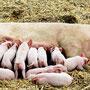 Cerdos amantando