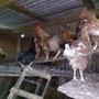 Gallinas en su gallinero