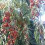 Fruto del capulí. comuna El Carmen, Chillán (Foto Ofelia Muñoz)