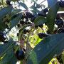 Fruto del maqui