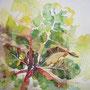Mangold, 40 x 40 cm