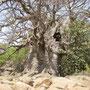 Baobab de 23 mètres de diamètre à Iwol