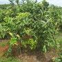 """<font size=""""+2""""><b>Guaven Plantage"""