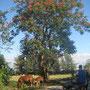 "<font size=""+2""><b>blühender afrikanischer Tulpenbaum"