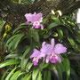 """<font size=""""+2""""><b>Orchideen im Garten"""