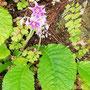 岩煙草(いわたばこ) 星型紫