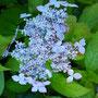 山紫陽花(やまあじさい)