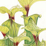 "Helen Clifford - ""Pitcher Plants"" - £140"