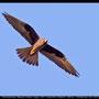 Falco eleonorae - Eleonora´s Falcon - Eleonorenfalke; Cyprus, Kathikas, September 2011