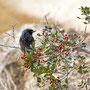 Phoenicurus ochruros - Black Redstart - Hausrotschwanz, Pegeia - Agios Georgios, October 2016