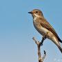 Muscicapa striata - Spotted Flycatcher - Grauschnäpper, Cyprus, Akamas - Lara, September 2011