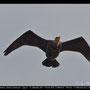 Phalacrocoratidae - Great Cormorant - Kormoran, Cyprus, Akhna Dam, Juni 2014