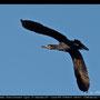 Phalacrocoratidae - Great Cormorant - Kormoran, Cyprus, Asprokremmos Dam, Juni 2014