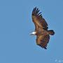 Gyps fulvus - Griffon Vulture - Gänsegeier, Cyprus, Episkopi - Kensington Cliff, July 2014