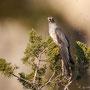 Kuckuck - Common Cuckoo, Cyprus, Pegeia, 04.04.2012, EOS-1D Mark IV, EF600mm f/4L IS USM + 1,4x TKIII, Ma, Spot, 1/2500 Sek. bei f/7.1, ISO 100