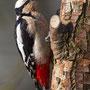 Buntspecht - Great Spotted Woodpecker, Germany, Ilshofen, 09.03.2011, Canon EOS 7D, EF500mm f/4L IS USM + 1,4TCII, Av, Mf, 1/1250Sek. bei f/5,6, ISO 400