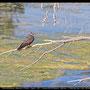 Falco eleonorae - Eleonora´s Falcon - Eleonorenfalke; Cyprus, Akrotiri - Bishop´s Pool, August 2011