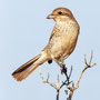 Neuntöter juv., Red-backed Shrike juv., Cyprus, Pegeia, 04.09.2012, EOS-1D Mark IV, EF600mm f4L IS USM +1,4x TCIII, Tv, Spot, 1/2000 Sek. bei f/8,0 ISO 320