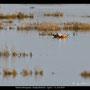 Tadorna ferruginea - Ruddy Shelduck - Rostgans