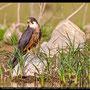 Falco eleonorae - Eleonora´s Falcon - Eleonorenfalke; Cyprus, Asprokremmos Dam, April 2012