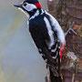 Buntspecht - Great Spotted Woodpecker, Germany, Ilshofen, 09.03.2011, Canon EOS 7D, EF500mm f/4L IS USM + 1,4TCII, Av, Mf, 1/250 Sek. bei f/4,5, ISO 640