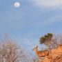 """""""Kudu mit Mond"""""""