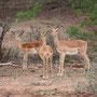 Impalas - wer beobachtet wen?