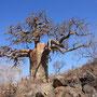 story ...Die Götter haben einst aus Zorn über die Frevel der Menschen den Baobab aus der Erde gerissen und verkehrt herum wieder ins Erdreich gesteckt, deshalb wirkten seine Äste eher wie ein bizarr in die Luft ragendes Wurzelwerk.