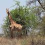 neugierige Giraffe ...